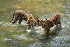 Free Two Siberian Tigers In Fight With Each Other Royalty Free Stock Images - 144811399
