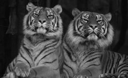 Two Siberian tigers sitting next to eachother. Black and white image of 2 Siberian tigers sitting next to eachother Stock Image