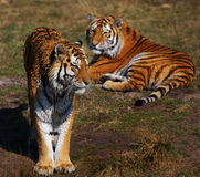 Two Siberian tigers on the waterside Stock Photo