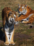 Two Siberian tigers on the waterside Royalty Free Stock Photos