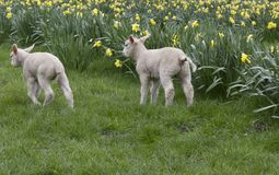 Two sibling lambs in a grassy field with spring yellow dafodils royalty free stock image