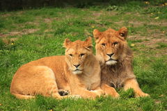 Two sibling sub adult lions resting Royalty Free Stock Photo