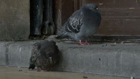 Two Sick Pigeons. Freezing on the sidewalk stock video