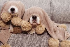 TWO SICK, PLAYFUL OR SCARED CAVALIER AND JACK RUSSELL DOGS COVERED WITH A WARM  TASSEL BLANKET.  stock photo