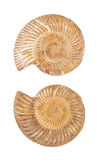 The two sides of an ammonite fossil shell Stock Photography