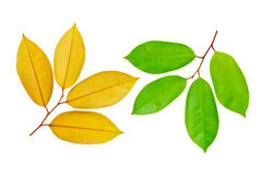 Two sides of green leaf Royalty Free Stock Image