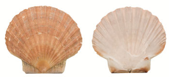 Two sides of a scallop shell. Both sides of a scallop shell, isolated on a white background Royalty Free Stock Photography