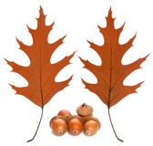 Two sides of a sheet of oak and acorns Royalty Free Stock Images