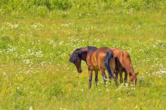 Two sides snuggle, horses grazing in the meadow Royalty Free Stock Photo
