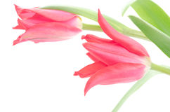 Two sideways tulips Stock Photo