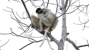 Two sifaka lemurs. Playing on the tree stock video