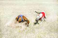 Two Sighthounds on a finish of lure coursing competition. Sighthounds on finish of lure coursing competition at chamomile field Royalty Free Stock Images