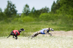 Two Sighthounds lure coursing competition. At chamomile field Royalty Free Stock Image