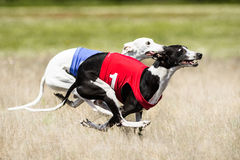 Two Sighthounds lure coursing competition. First flight phase of. Two Sighthounds lure coursing competition. First flight phase suspended period, swing phase of Stock Photography