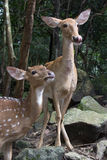 Two Sika Deer in the forest, sticking the tongue out Stock Photography