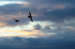 Two Silhouetted Ducks Flying in the Beautiful Sunset Sky. Two Silhouetted Ducks Flying in the Bright and Beautiful Sunset Sky Royalty Free Stock Image