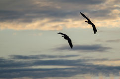 Two Silhouetted Geese Flying in the Beautiful Sunset Sky Stock Photo