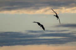 Two Silhouetted Geese Flying in the Beautiful Sunset Sky. Two Silhouetted Geese Flying Gracefully in the Beautiful Sunset Sky Stock Photo