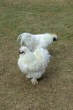 Two Silkie Chickens Forage For Food on the Ground Royalty Free Stock Images