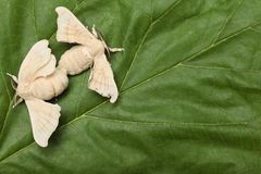 Two Silkworm Butterflies Mating Royalty Free Stock Photos