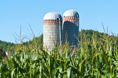 Two Silos with corn stalks in foreground Royalty Free Stock Image