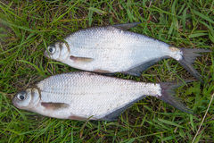 Two silver bream or white bream fish on green grass. Royalty Free Stock Image