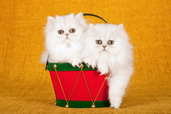 Two silver Chinchilla kittens sitting inside red Christmas drum on gold background. Silver Chinchilla kittens sitting inside red Christmas drum on gold stock photos