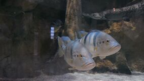 Two silver fishes swimming in huge aquarium. Underwater background stock footage