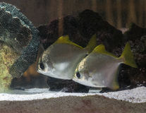 Two silver moony fish in an aquarium Royalty Free Stock Photography