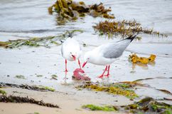 Two Silver seagulls eating some dead life from the ocean on the dirty beach. A two Silver seagulls eating some dead life from the ocean on the dirty beach Royalty Free Stock Photography