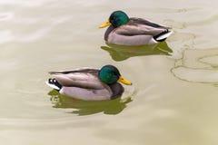 Two similar wild ducks swimming in opposite way. Two similar wild ducks swimming in the lake, opposite way royalty free stock photo