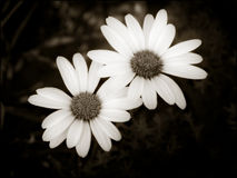 Two simple daisies Royalty Free Stock Photos
