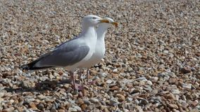 Two singing seagulls on a pebble beach. Two seagulls stand on pebble beach and call out together at Lyme Regis, UK stock video footage