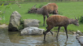 Two sitatunga by pond in the zoo or nature reserve stock video