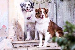 Two sitting Australian Shepherds on the stairs. stock photos