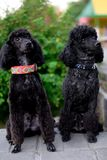 Two sitting black poodle royalty free stock photos