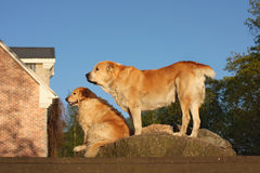 Two sitting dogs protect the house Stock Photos