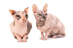 Two sitting purebred sphinx cats Stock Photo