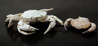 Two skeleton of  crab on black Stock Image