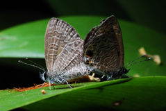 Two Skippers Mating Royalty Free Stock Photos
