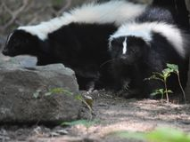 Pair of Skunks Hanging together in the Wild. Two skunks cuddled together in the wild Royalty Free Stock Photography