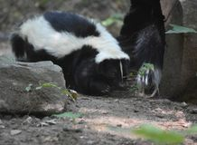 Pair of Skunks Playing in a Hollow Log. Two skunks playing in a hollow log Stock Image