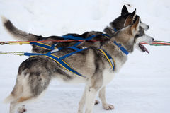 Two sled dogs with harness Royalty Free Stock Photos