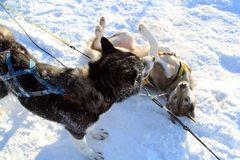 Two Sled Dogs Playing. With each other after dog sledding on snow. under sunlight Royalty Free Stock Images
