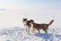 Two sled dogs are playing on the frozen bay Royalty Free Stock Image