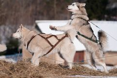 Two sled dogs siberian huskies playing Stock Image