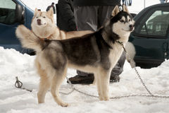 Two sled dogs waiting for the race Royalty Free Stock Photography
