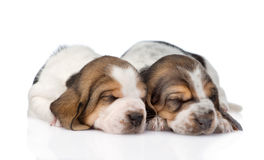 Two sleeping basset hound puppies. isolated on white background.  royalty free stock images