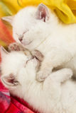 Two sleeping british kittens Royalty Free Stock Photo