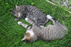 Two sleeping cat Royalty Free Stock Photos